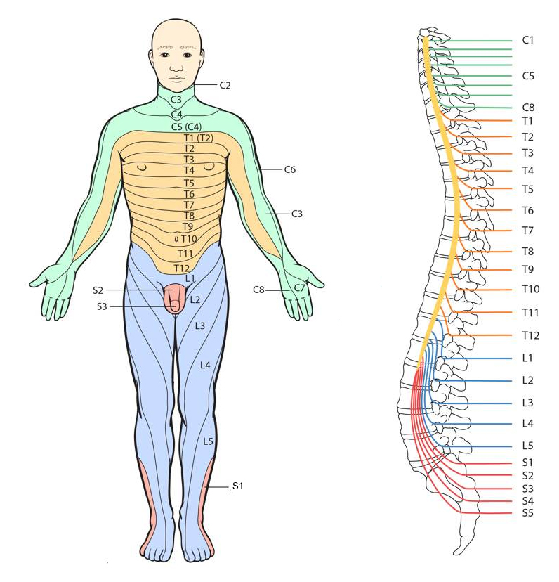 Spinal Nerves In Detail Showing Dorsal Root Ganglion Ramus Rami Ventral Root furthermore Tos Small furthermore Radiculopathy Vs Peripheral Neuropathy furthermore Stingers Burners Transient Ue Neuropraxia Of Root Or Brachial Plexus as well Radiculopthy. on c5 c6 nerve root distribution